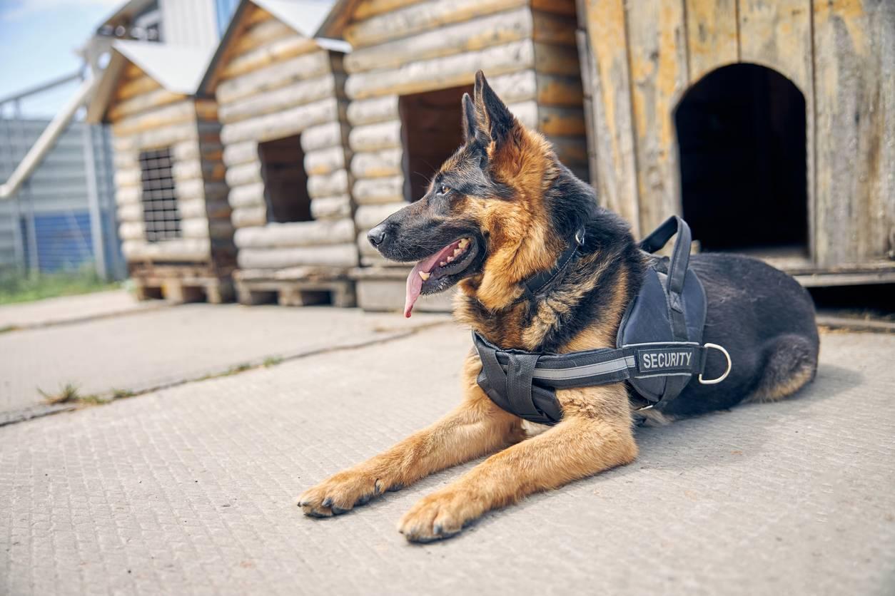 chien surveillance